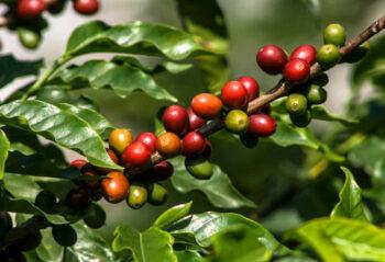 Hoe wordt koffie gemaakt